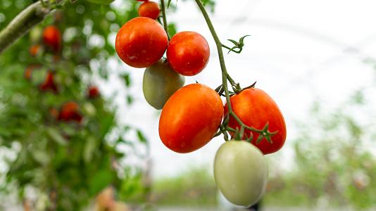 Bisnis Mudah Tomat Cherry, Si Kecil Kaya Nutrisi_thumbnail.png